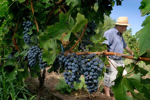 vitivinicultura