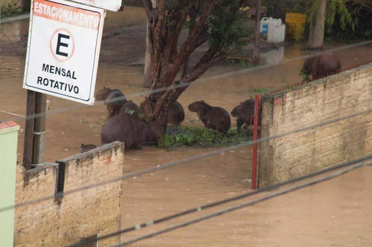 capivaras-enchente_01