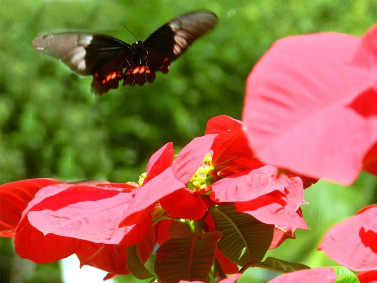 flores-borboleta