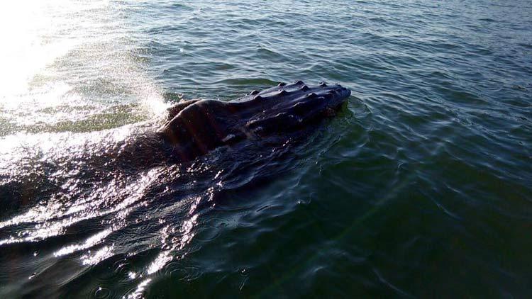 Filhote de baleia Jubarte