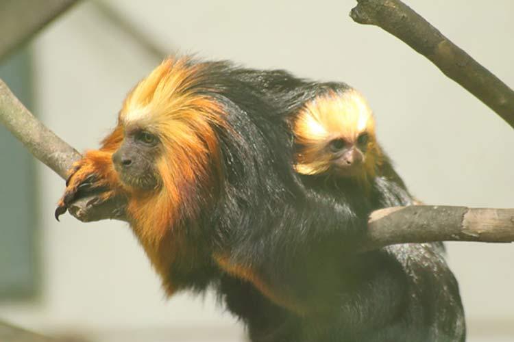 Fêmea de mico-leão-dourado