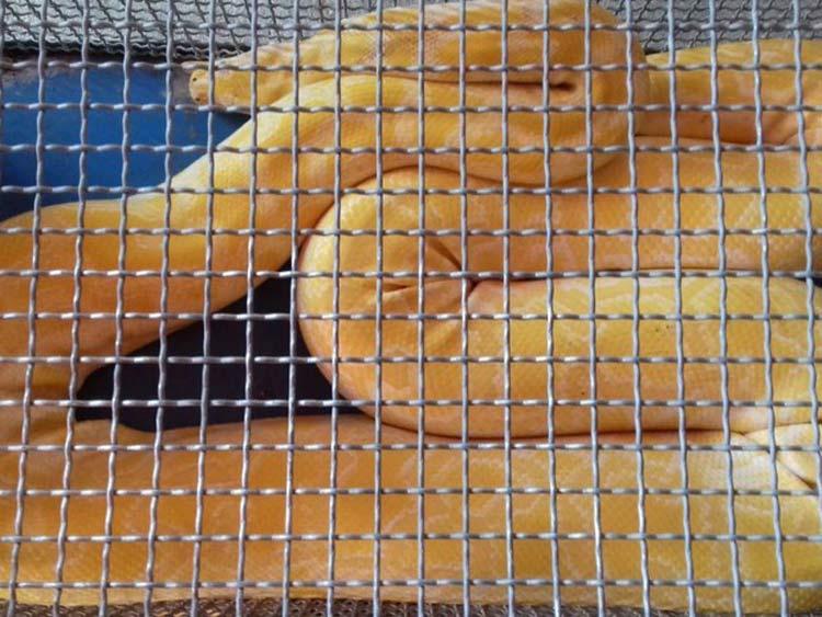 Cobra-piton_Sao-Francisco-Sul_9-02-16_02