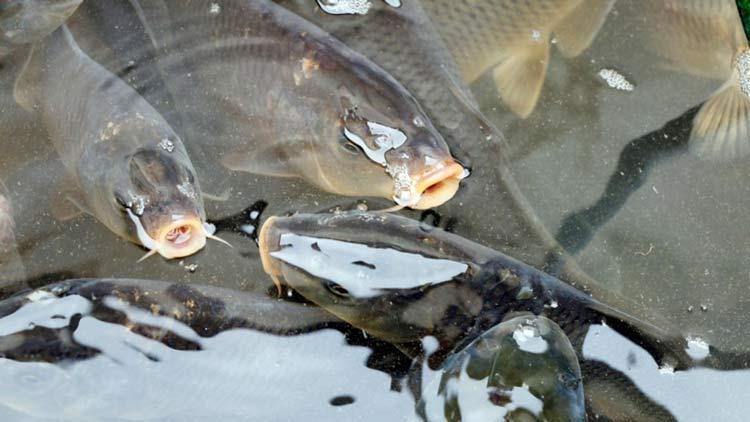 Peixes-agua-doce