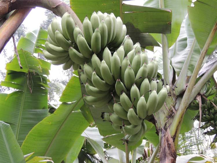 banana-belluna_d26-10-16